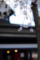 あゝ桜よ Ⅳ