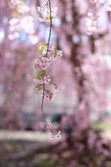 あゝ桜よ Ⅴ