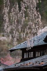 いきなり桜 その2