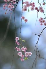 あゝ桜よ Ⅲ