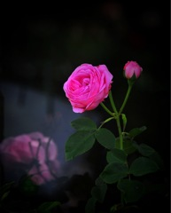 薔薇III