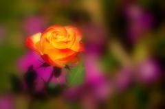 伊豆熱海の薔薇