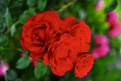 燃ゆる薔薇! 2