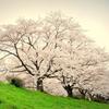 花曇りの河川敷に続く桜並木