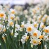 冬の花 ~水仙~