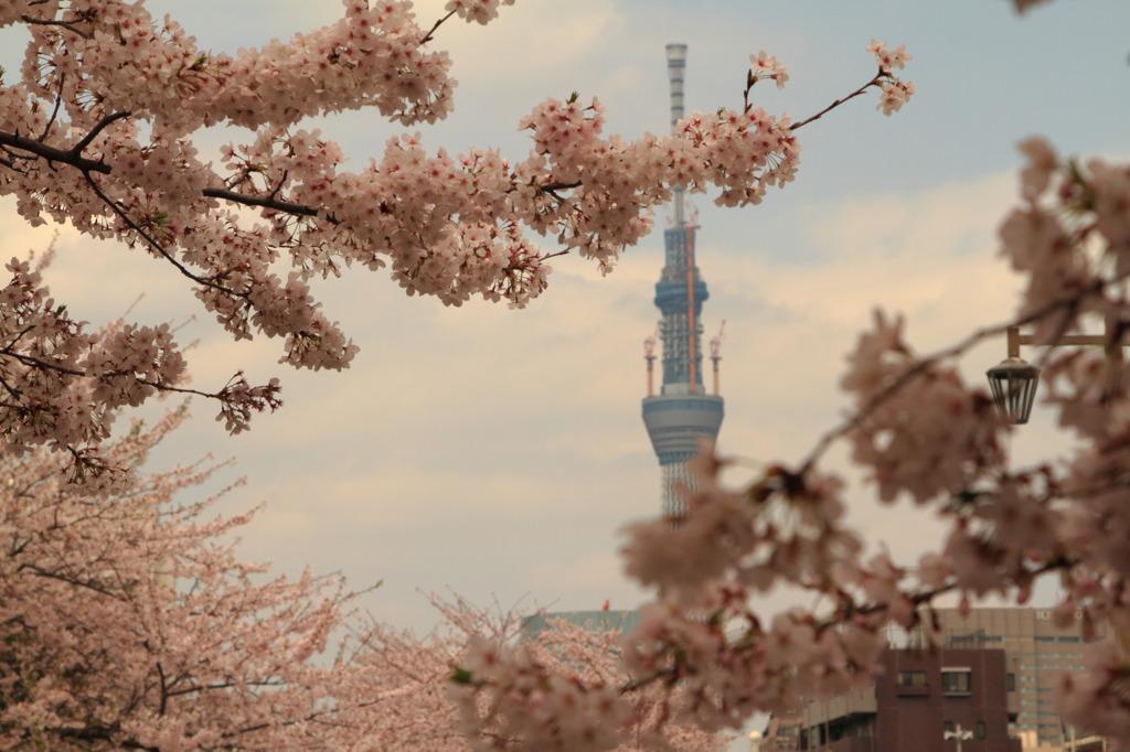 桜の枝の合間から