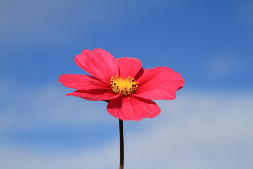 一輪の花 ~今年最後のコスモス~