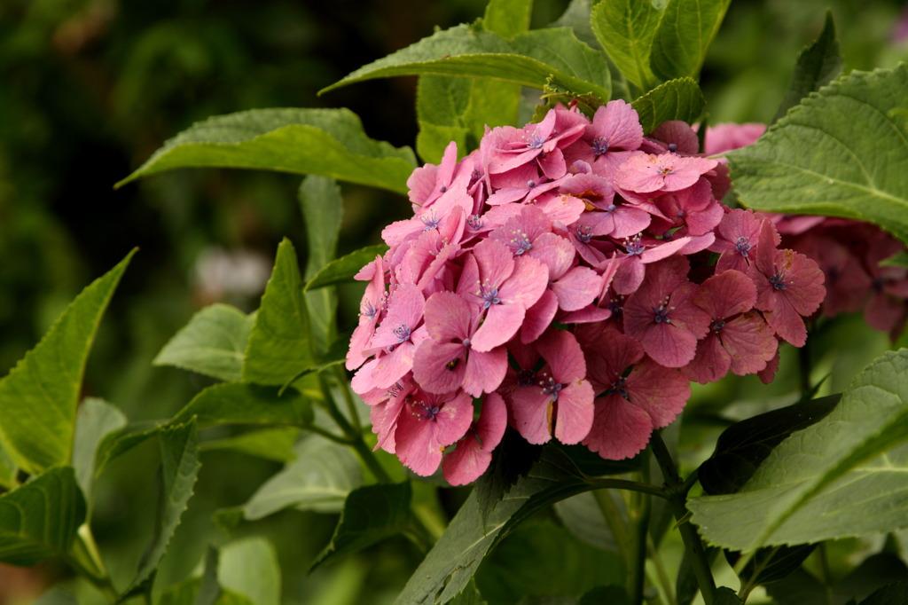紫陽花 ~ピンク~