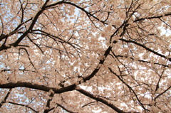 Roof of the cherry blossoms