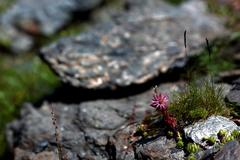 スイス 高山植物