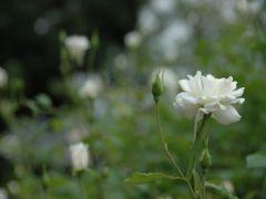 薔薇 040_R