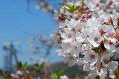 京都のインクラインの桜