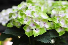 グリーン紫陽花