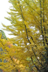 黄金色の木