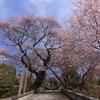 慈光寺の桜① 宇都宮