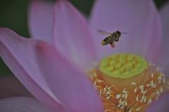 古代蓮と蜜蜂...