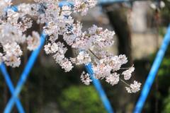 桜とブランコ