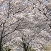 石川河川公園の桜