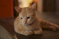 台湾的美猫