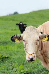 牛のつぶやき