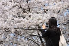 満開の桜に見とれる女性に見とれる私