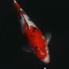 鯉とさくらの花びら一輪