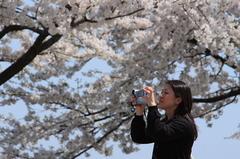 綺麗な桜とお姉さん
