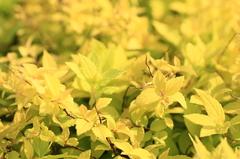 眩しすぎる黄色い葉