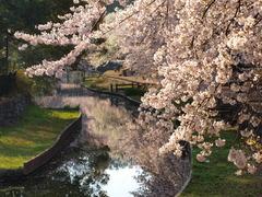 水辺に写る桜