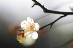 梅3 (意賀美神社)