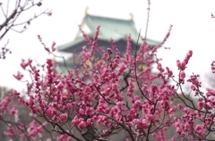 梅 (大阪城公園)