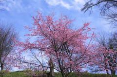 桜 (吉野 中千本)