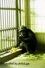 chimpanzee 2008 001