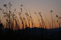 すすきと夕日