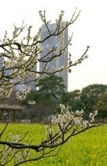 白梅と菜の花と高層ビルと