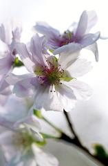 十月桜の花弁