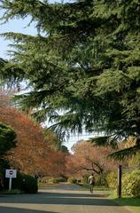 紅葉とヒマラヤ杉