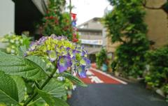 旧東海道の紫陽花