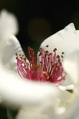 白い花弁に紅い花心