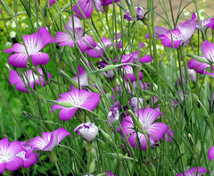 麦仙翁の花