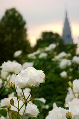 白薔薇と黄昏