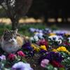 パンジー(三色スミレ)と三毛猫