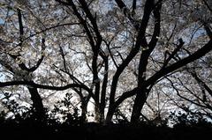 桜の影絵風