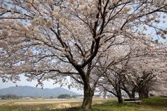 2017の桜 その1