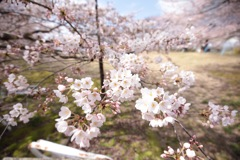 2017の桜 その3