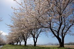 2017の桜 その2