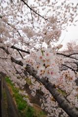 三沢川の桜_3