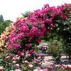 Gate of rose garden