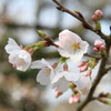 桜町陣屋の桜