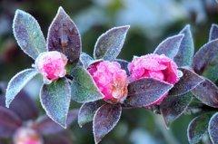 冷凍山茶花